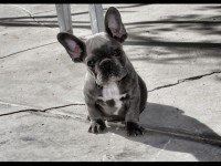 French Bulldogs BFB